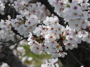 【イベント】桜まつりに参加しています!